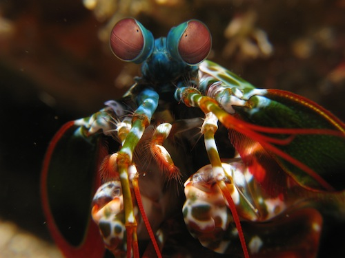 Mantis shrimp in extreme closeup