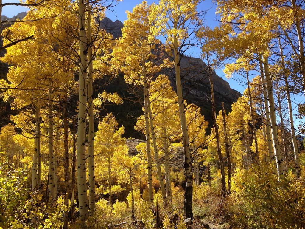 Quaking Aspens bathed in sunlight against a dark mountain and blue sky.